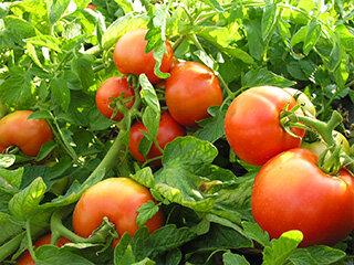 ジュース用トマトの写真