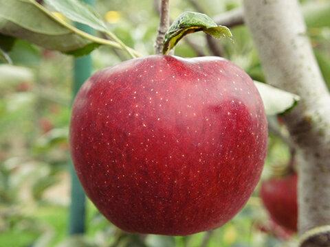 りんご・秋映
