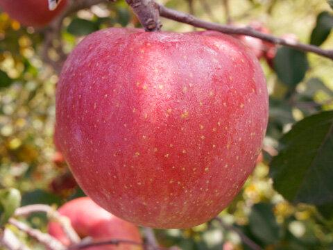 りんご・サンふじ