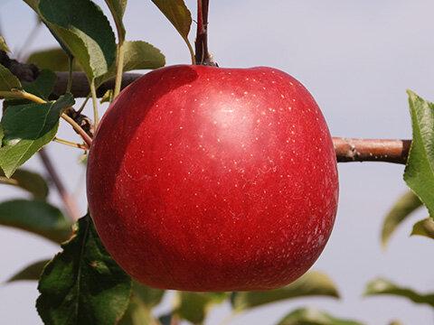 りんご・シナノスイート