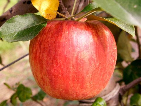 りんご・つがる