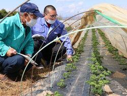 パセリほ場巡回を実施 生育状況確認し今後の栽培管理にいかす