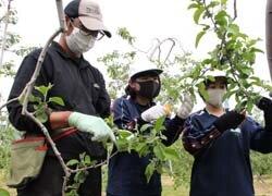 中学生がりんご摘果作業を手伝い 地元の農業を知るきっかけに