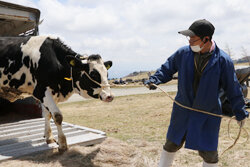 美ヶ原牧場で牛の放牧開始 暑い夏を高原でのびのびと