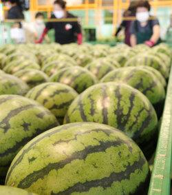 夏の味覚が登場! ハウス栽培の「JA松本ハイランドすいか」初出荷