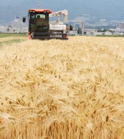 大麦収穫スタート 黄金色の大麦次々と