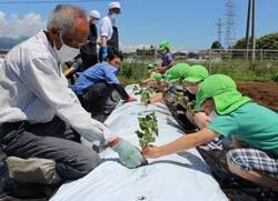 山形支所で支所協同活動 園児がサツマイモの定植を体験