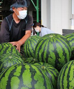 「JA松本ハイランドすいか」露地ものが出荷スタート 今年も高品質な仕上がり