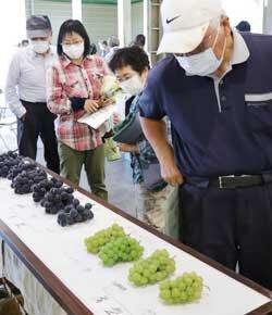 大粒種ブドウ目揃会 規格に沿った出荷を確認