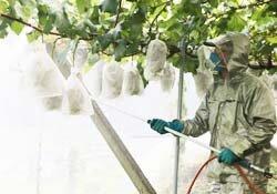 ブドウ共同防除つづけて60年 特産ブドウ畑を次の世代へ