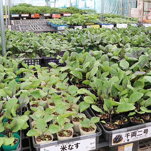 野菜苗をたくさん揃えています